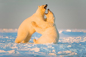 Polar bear (Ursus maritimus) 3-year-olds play fighting on newly formed pack ice, Beaufort Sea, off the 1002 area of the Arctic National Wildlife Refuge, North Slope, Alaska - Steven Kazlowski