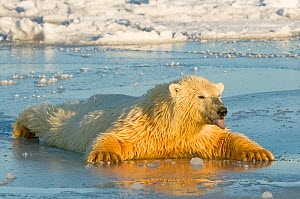 Polar bear (Ursus maritimus) juvenile spreading body weight over thin newly forming pack ice, trying not to break through, Beaufort Sea, off the 1002 area of the Arctic National Wildlife Refuge, North... - Steven Kazlowski,Steven Kazlowski