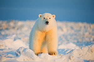 Polar bear (Ursus maritimus) curious young boar on the newly frozen pack ice, Beaufort Sea, off the 1002 area of the Arctic National Wildlife Refuge, North Slope, Alaska - Steven Kazlowski