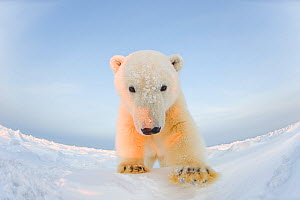 Polar bear (Ursus maritimus) curious young male on the newly frozen pack ice, Beaufort Sea, off the 1002 area of the Arctic National Wildlife Refuge, North Slope, Alaska - Steven Kazlowski