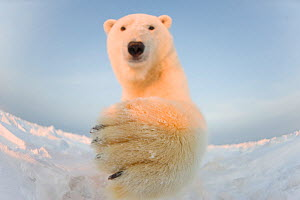 Polar bear (Ursus maritimus) curious young male batting remote camera, on the newly frozen pack ice, Beaufort Sea, off the 1002 area of the Arctic National Wildlife Refuge, North Slope, Alaska - Steven Kazlowski
