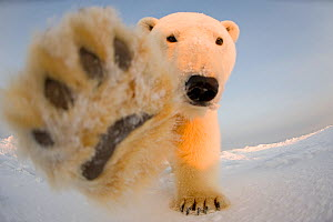 Polar bear (Ursus maritimus) curious young boar on the newly frozen pack ice reaches for remote camera with paw, Beaufort Sea, off the 1002 area of the Arctic National Wildlife Refuge, North Slope, Al... - Steven Kazlowski