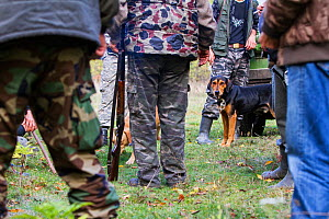 Romanian hunting dog (breed: Copoi ardenelesc / Transylvanian hound) among hunters after a driving hunt for Wild boar (Sus scrofa) in the forest area outside the village of Mehadia, Caras Severin, Rom...  -  Wild Wonders of Europe / Möllers
