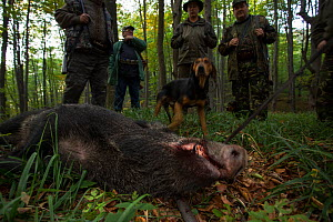 Romanian hunters and shot Wild boar (Sus scrofa) sow in the forest area outside the village of Mehadia, Caras Severin, Romania, October 2012  -  Wild Wonders of Europe / Möllers