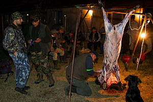 Romanian hunters skinning and preparing the meat of a female Wild boar (Sus scrofa) that was shot during a driving hunt in the forest area outside the village of Mehadia, Caras Severin, Romania, Octob... - Wild Wonders of Europe / Möllers