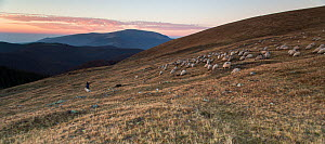 Shepherd leading his Domestic sheep (Ovis aries) to a paddock, at sunset, close to the Meteorological Station of Cuntu. Southern Carpathians, Muntii Tarcu, Caras-Severin, Romania, October 2012  -  Wild Wonders of Europe / Möllers