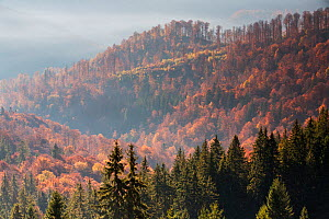 Mixed Common beech (Fagus sylvatica) and Spruce (Picea abies) forests in autum colours at sunrise seen from the road to Muntele Mic. Southern Carpathians, Muntii Tarcu, Caras-Severin, Romania, October...  -  Wild Wonders of Europe / Möllers