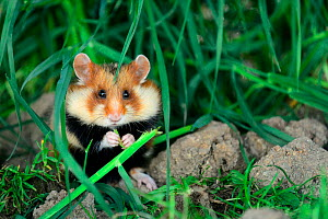 Common hamster feeding (Cricetus cricetus)  Alsace, France, April, captive - Eric Baccega