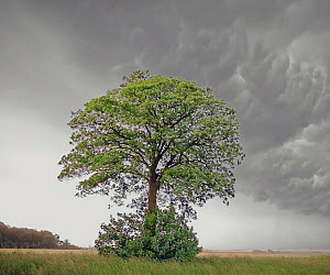 Maple (Acer sp) under mamatus clouds and the beginnings of a thunderstorm. Picardy, France. June 2000  -  Pascal Tordeux