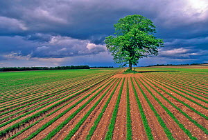 Lime tree in a field of carrots, Sissone, Picardy, France, June - Pascal Tordeux,Pascal  Tordeux