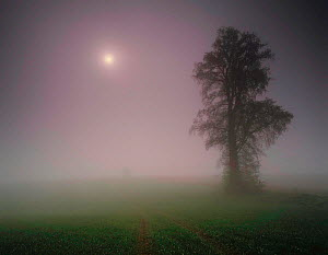 Elm tree (Ulmus sp) silhouetted in fog at night, Villers Le Sec, Picardy, France  -  Pascal Tordeux