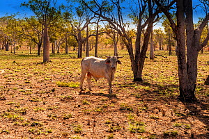 Brahman bull in outback, Kimberley station, Old Halls Creek Track, Parry Creek Farm Wyndham, Western Australia  -  Steven David Miller
