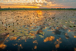 Yellow Waters with Water Lilies (Nymphaeacae) at sunset, South Alligator River, Kakadu National Park, Northern Territory, Australia, June 2010 - Steven David Miller