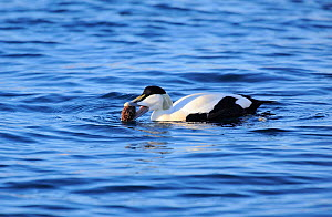 Common Eider (Somateria mollissima) male feeding on a sea urchin. Batsfiord Harbour. Northern Norway, March.  -  Mike Potts