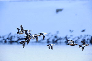 Stellers Eider (Polysticta stelleri) a small group in flight, near Vardo. North Norway, March.  -  MIKE POTTS,Mike Potts