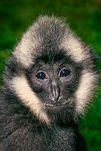 Young male Northern White-cheeked Crested Gibbon (Nomascus leucogenys) Northern Vietnam. Critically Endangered, Captive - Rod Williams
