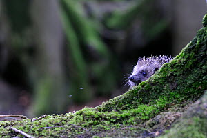 Hedgehog (Erinaceus europaeus) in woodland, Devon, England, UK, April. Captive.  -  David Pike