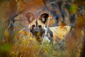 Portrait of an African wild dog (Lycaon pictus)  wearing a radio collar in dense mopane bushveld, Venetia Limpopo Nature Reserve, Limpopo Province, South Africa, February 2010. - Neil Aldridge