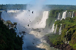 Aggregation / flocks of Black Vultures (Coragyps atratus) circling on morning thermals forming over Iguasu Falls, on the Iguasu River, Brazil / Argentina border. Photographed from the Brazilian side o... - Nick Garbutt
