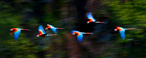 Group of Red-and-Green Macaws or Green-winged Macaws (Ara chloropterus)  in flight over forest canopy. Chapada dos Guimaraes, Brazil. - Nick Garbutt