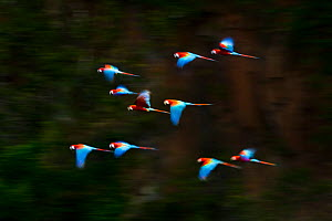 RF- Group of Red-and-Green Macaws or Green-winged Macaws (Ara chloropterus) in flight over forest canopy. Chapada dos Guimaraes, Brazil. (This image may be licensed either as rights managed or royalty...  -  Nick Garbutt