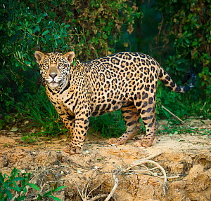 RF- Wild male Jaguar (Panthera onca palustris) along the bank of the Cuiaba River in late afternoon sunlight. Northern Pantanal, Brazil.  Endangered species. (This image may be licensed either as righ...  -  Nick Garbutt