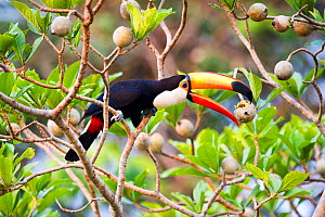 Toco Toucan (Ramphastos toco) feeding on fruit in forest canopy. Banks of the Cuiaba River, northern Pantanal, Mato Grosso, Brazil.  -  Nick Garbutt
