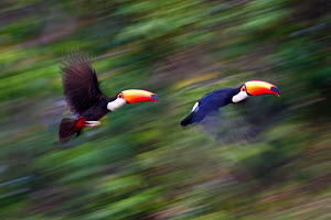 Toco Toucans (Ramphastos toco) taking flight from the forest canopy. Banks of the Cuiaba River, northern Pantanal, Mato Grosso, Brazil.  -  Nick Garbutt