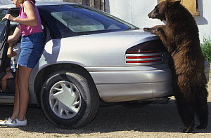 Juvenile American black bear (Ursus americanus), brown phase, standing upright and leaning on a car, Denver, Colorado, USA, July.  -  Shattil  & Rozinski