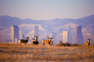 Mule deer (Odocoileus hemionus), with the Denver skyline and Rocky Mountains in the background, Denver, Colorado, USA, November.  -  Shattil & Rozinski,Shattil  & Rozinski