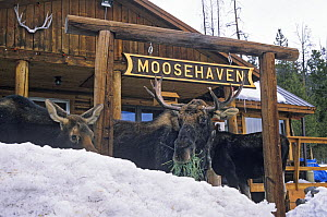 Three Moose (Alces alces) eating grass in front of a sign for Moosehaven, Wyoming, USA, January. - Shattil  & Rozinski
