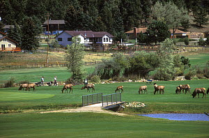 Herd of Elk (Cervus canadensis) grazing on a town golf course, Colorado, USA, August. - Shattil  & Rozinski