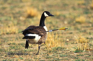 Canada goose (Branta canadensis), with arrow protruding from its rear, Colorado, March.  -  Shattil  & Rozinski