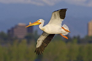 American white pelican (Pelecanus erythrorhynchos) in breeding condition, with bill horn growth, Cherry Creek State Park, Denver, Colorado, USA, July. - Shattil  & Rozinski