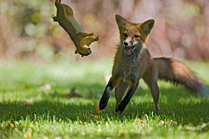 Red fox (Vulpes vulpes)  playing with a dead squirrel in a garden Denver, Colorado, USA, July. - Shattil & Rozinski,Shattil  & Rozinski