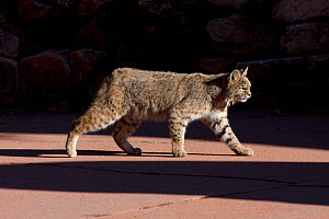 American bobcat (Lynx rufus) walking on a pavement in  Denver, Colorado, USA, December.  -  Shattil  & Rozinski