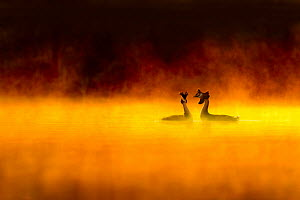 Great crested grebe (Podiceps cristatus) pair performing courtship display at dawn, backlit with surrounding by mist, Cheshire, UK, March - Ben  Hall