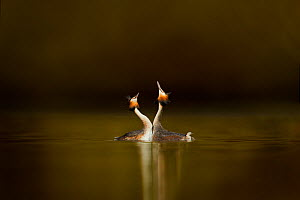 Great crested grebes (Podiceps cristatus) pair performing courtship displaying, Cheshire, UK, March - Ben Hall,Ben  Hall