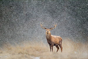 Red deer stag (Cervus elaphus) in heavy snow, Cheshire, UK, March - Ben Hall,Ben  Hall