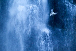 Northern fulmar (Fulmarus glacialis) in flight against a waterfall, Iceland, January - Ben  Hall