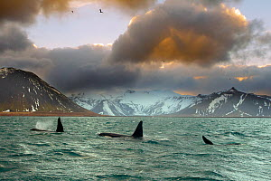 Orcas (Orcinus orca) pod feeding on herring, wide shot showing surrounding landscape, Iceland, January 2013  -  Ben Hall