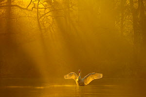 Mute swan (Cygnus olor) stretching its wings backlit at dawn, Poynton, Cheshire, UK, December. Highly honoured in the Bird Category of the Windland Awards  of Natures Best Photography Competition 2016...  -  Ben  Hall