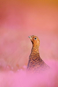 Red grouse (Lagopus lagopus scotica) sitting in flowering heather, Peak District, UK, September  -  Ben Hall,Ben  Hall