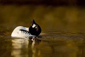 Goldeneye (Bucephala clangula) performing courtship display in evening light, Lancashire, UK, February - Ben Hall