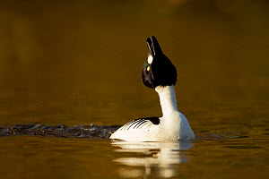 Goldeneye (Bucephala clangula) male performing courtship display in evening light, Lancashire, UK, February - Ben Hall