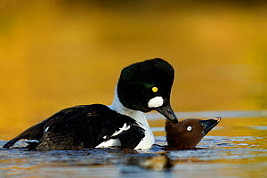 Goldeneye (Bucephala clangula) pair mating on lake, Lancashire, UK, February - Ben Hall