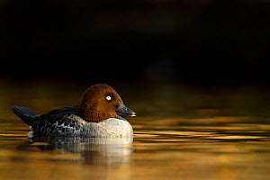 Goldeneye (Bucephala clangula) female swimming on lake in evening light, Lancashire, UK, February - Ben Hall