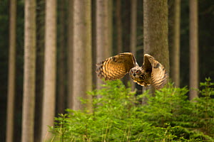 Eurasian Eagle owl (Bubo bubo) in flight through dense forest, Czech Republic, January - Ben  Hall