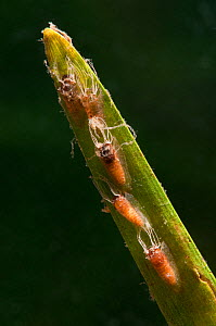 Black fly pupae (Simuliidae) attached to the stem of aquatic plant, Europe, August, controlled conditions - Jan  Hamrsky