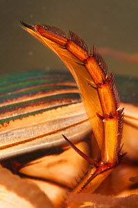 Great diving beetle (Dytiscus marginalis) hind oar-like leg detail, Europe, September, controlled conditions - Jan  Hamrsky